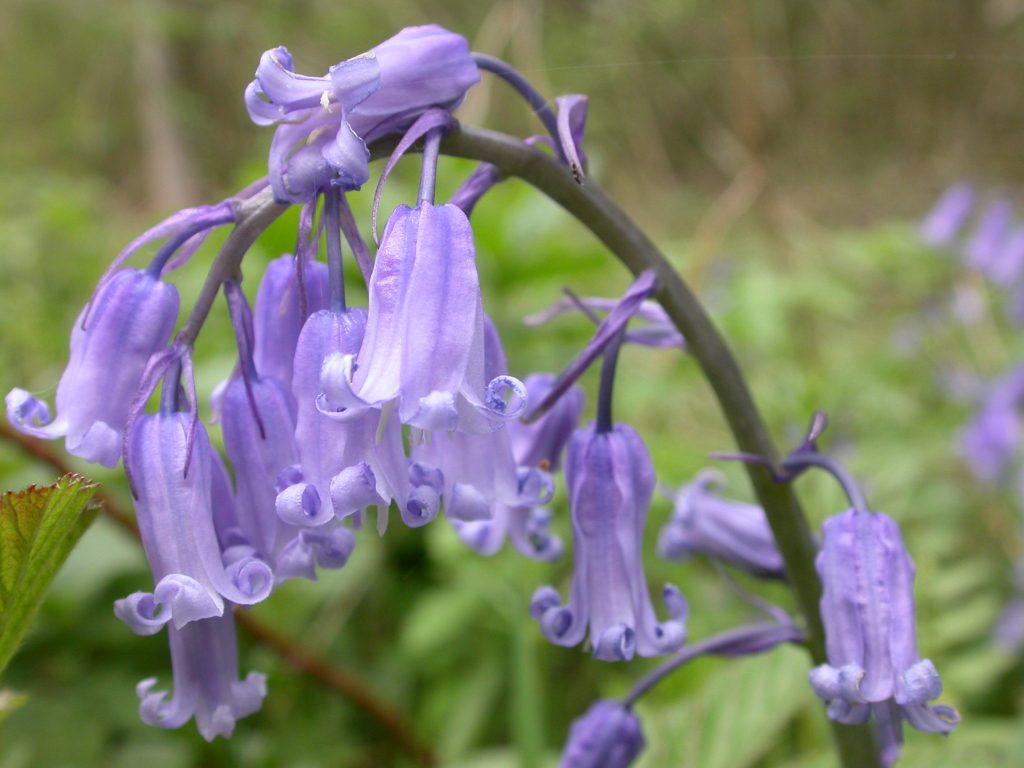 Bluebells - Credit. Philip Precey