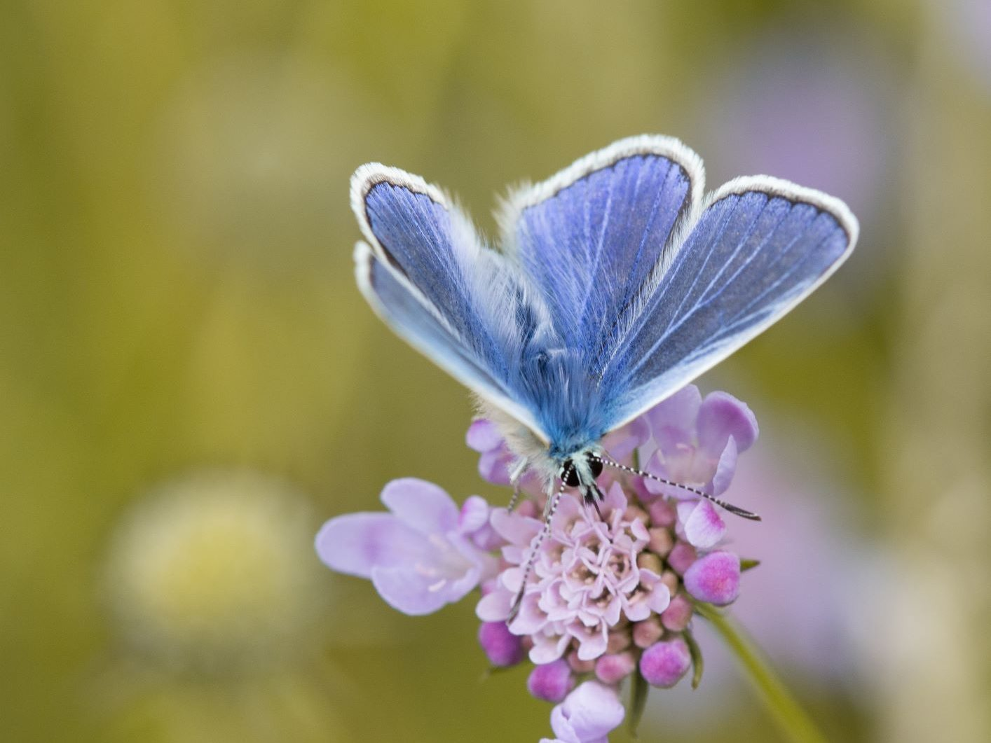 Common Blue on Small Scabious at Old Sulehay -Credit. Sarah Lamber