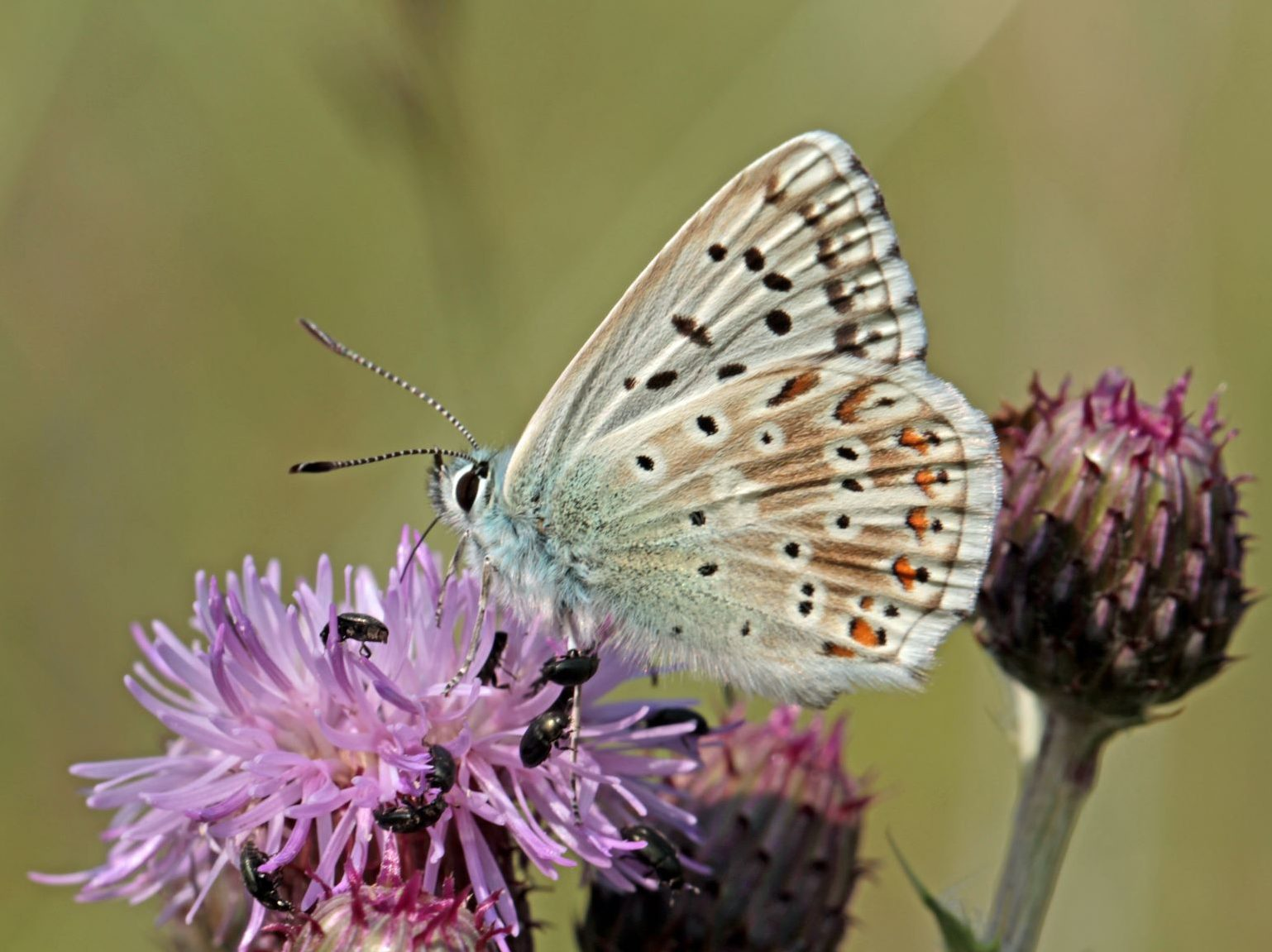 Common Blue at Fleam Dyke - Credit. Henry Stanier