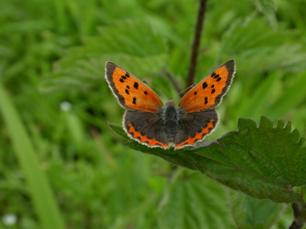 Small Copper Butterfly - Credit. Philip Precey